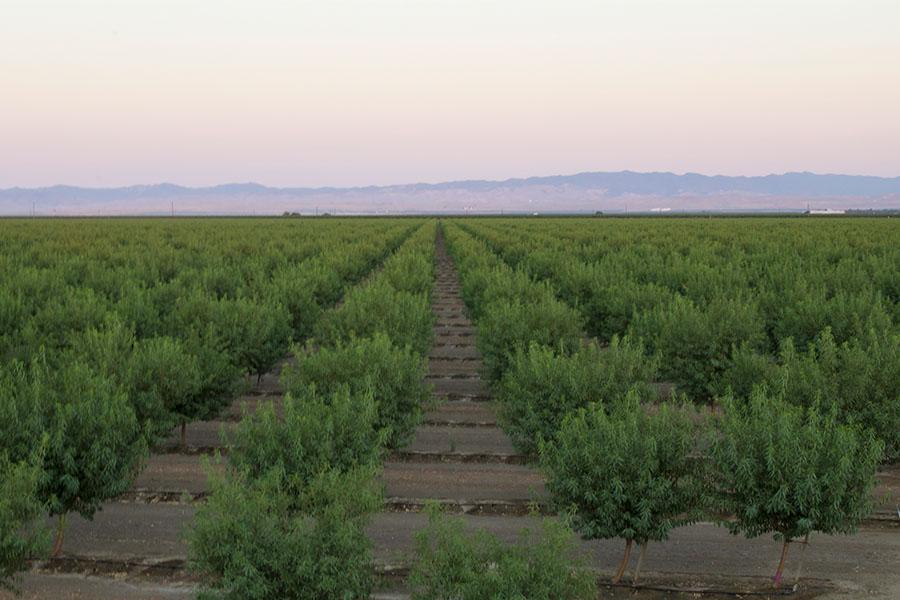 Almond-field