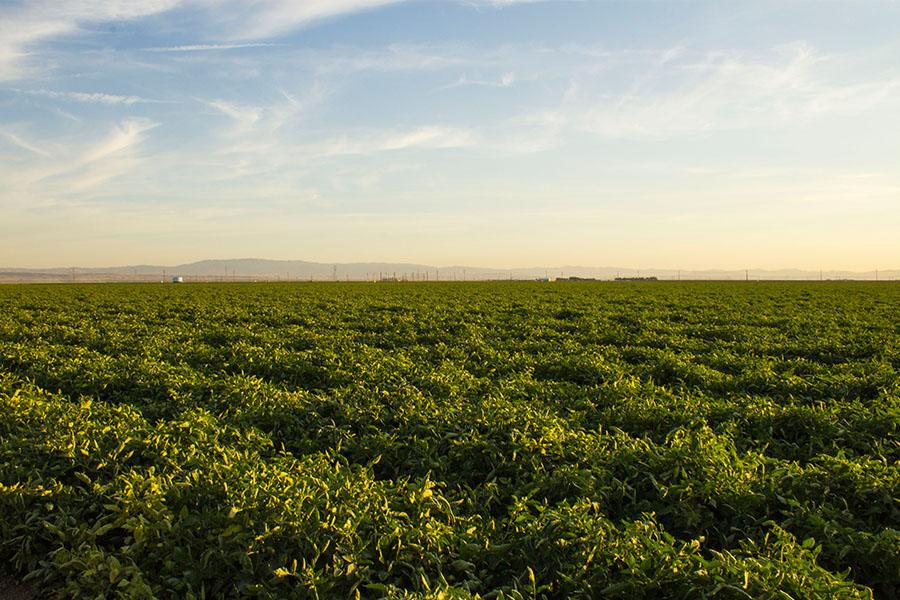 Tomatoe-field-