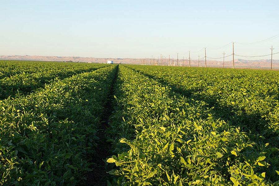 Tomatoe-field