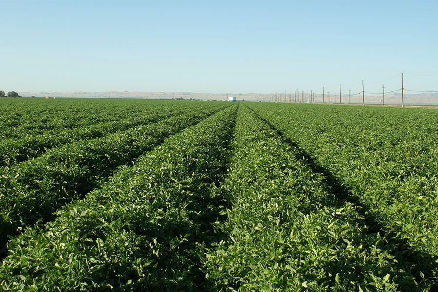 Tomatoe-field_